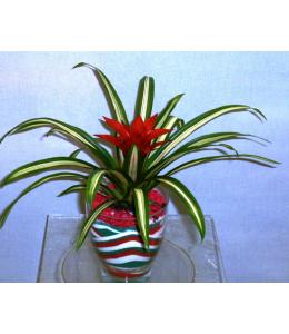 Γκουσμάνια φυτό με διακοσμητική άμμο