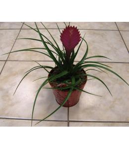 Φυτό Τιλάνσια σε μεταλλικό