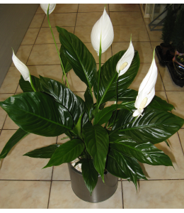 Plant anthurium in pot