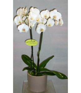 White Orchid in pot