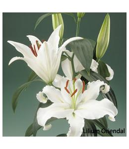 Lilium Oriendal