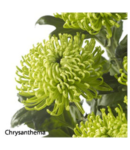Chrysanthema
