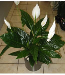 Plant anthurium in pot