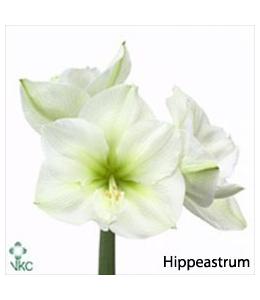 Hippeastrum