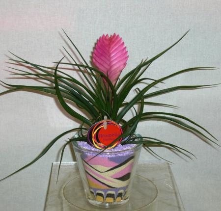 Τιλάνσια Φυτό με Διακοσμητική Αμμο
