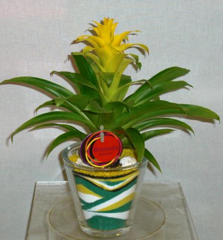 Φυτά σε γυάλα - Γκουσμάνια
