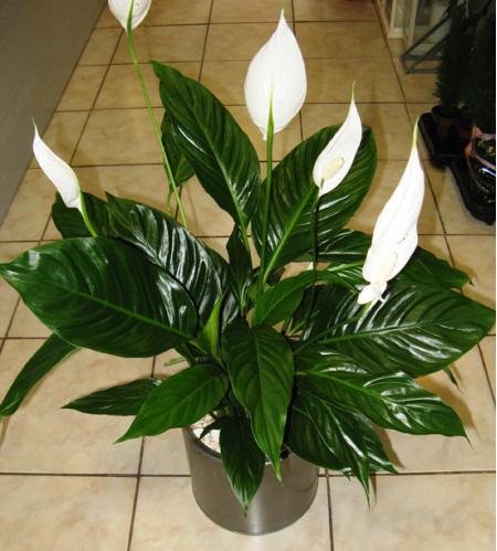 Spathiphyllum in inox