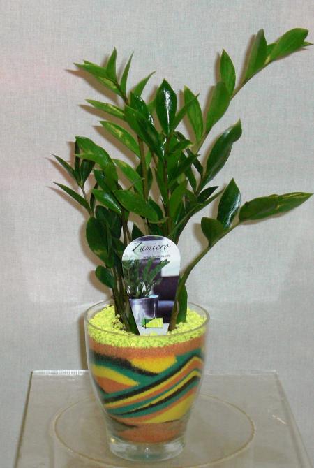 Ζάμια φυτό